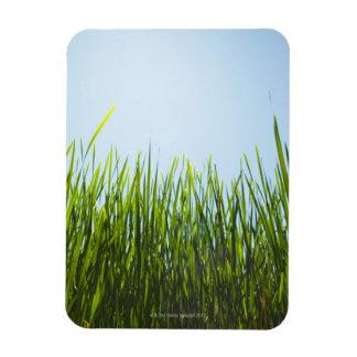 Hierba verde alta contra el cielo azul con el sol iman de vinilo