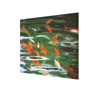 High angle view of koi crap fish in a pond canvas print