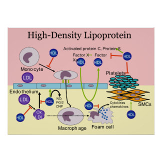 High-Density Lipoprotein HDL Diagram Poster
