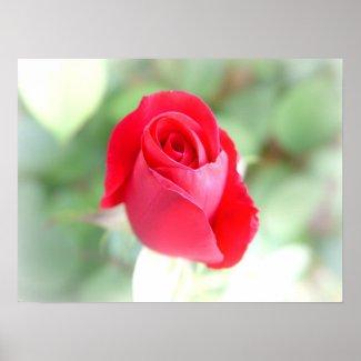 High Key Rose Poster print