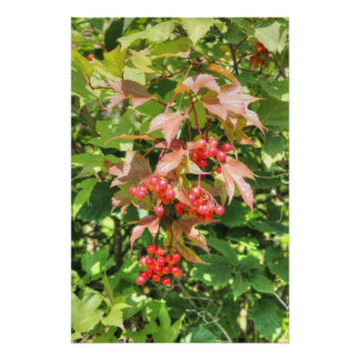 Highbush Cranberries Poster