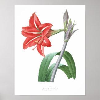 HIGHEST QUALITY Botanical print of Amaryllis