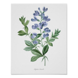 HIGHEST QUALITY Botanical print of Baptisia