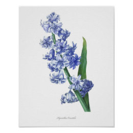 HIGHEST QUALITY Botanical print of Hyacinth