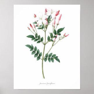 HIGHEST QUALITY Botanical print of Jasmine