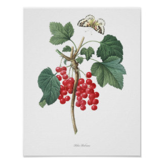 HIGHEST QUALITY Botanical print of Red Currant