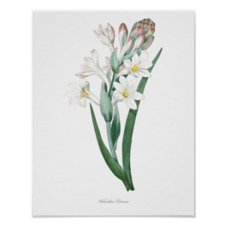 HIGHEST QUALITY Botanical print of Tuberose