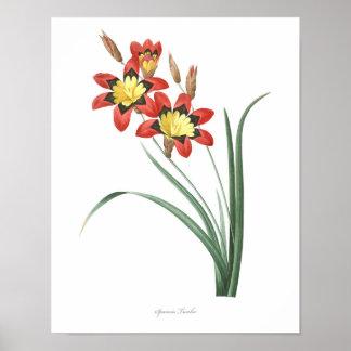 HIGHEST QUALITY Botanical print of Wandflower