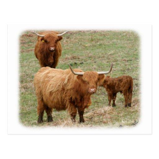 Highland Cattle 9Y316D-017 Postcard
