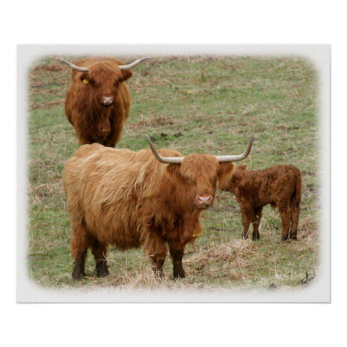 Highland Cattle 9Y316D-017 Poster
