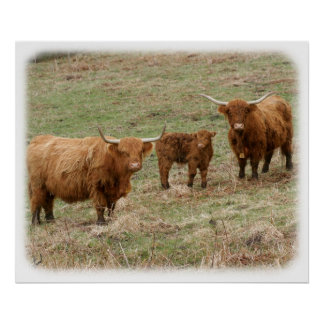 Highland Cattle 9Y316D-030 Poster