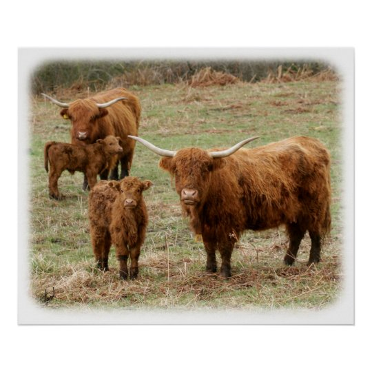 Highland Cattle 9Y316D-055 Poster