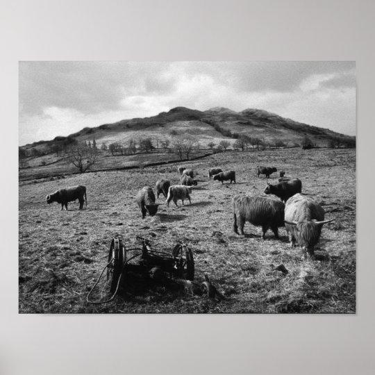 Highland Cattle at Tarbet by Loch Lomond, Scotland Poster