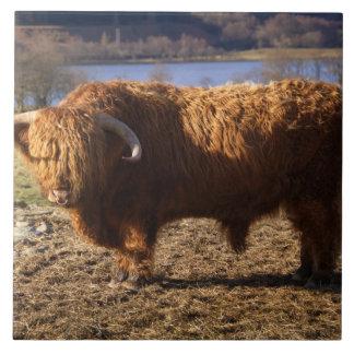 Highland Cattle Bull, Scotland Ceramic Tile