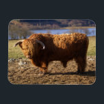 "Highland Cattle Bull, Scotland Magnet<br><div class=""desc"">COPYRIGHT Paul Thompson / DanitaDelimont.com 