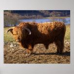 Highland Cattle Bull, Scotland Poster