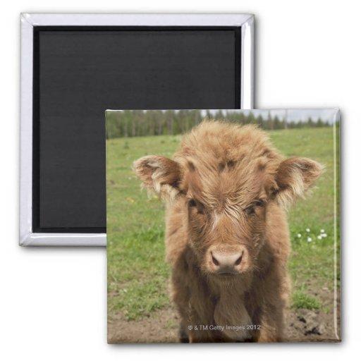 Highland Cattle calf, near Dufftown, 2 Inch Square Magnet