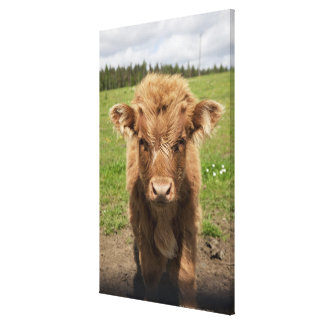 Highland Cattle calf, near Dufftown, Gallery Wrapped Canvas