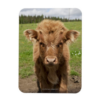 Highland Cattle calf, near Dufftown, Magnet