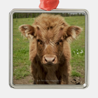 Highland Cattle calf, near Dufftown, Metal Ornament