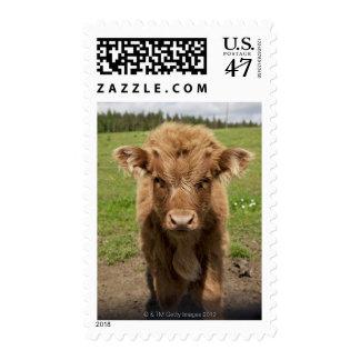 Highland Cattle calf, near Dufftown, Postage Stamp