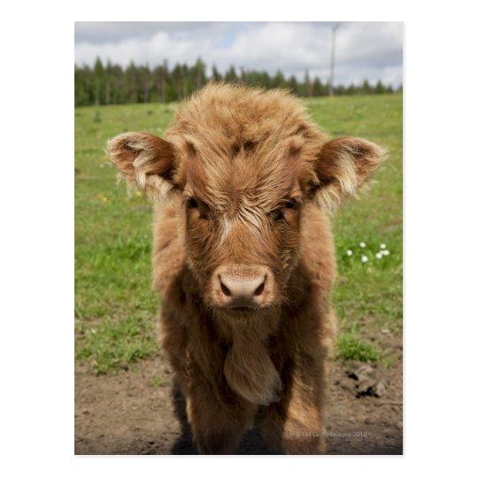 Highland Cattle calf, near Dufftown, Postcard