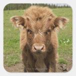 Highland Cattle calf, near Dufftown, Square Sticker