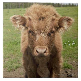 Highland Cattle calf, near Dufftown, Tile