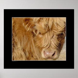 Highland Cattle Calf Poster