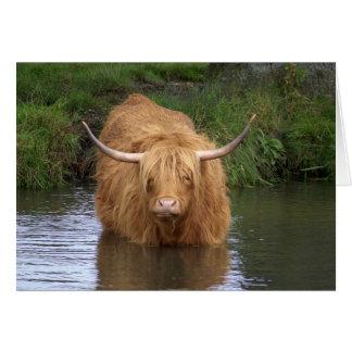 Highland Cattle Card