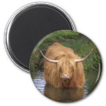 Highland Cattle Magnets