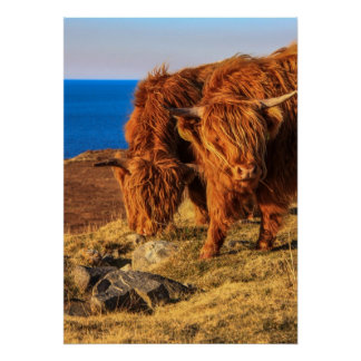 Highland Cattle Poster/Print
