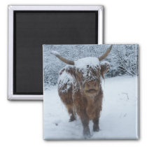 Highland Cow In The Snow Magnet