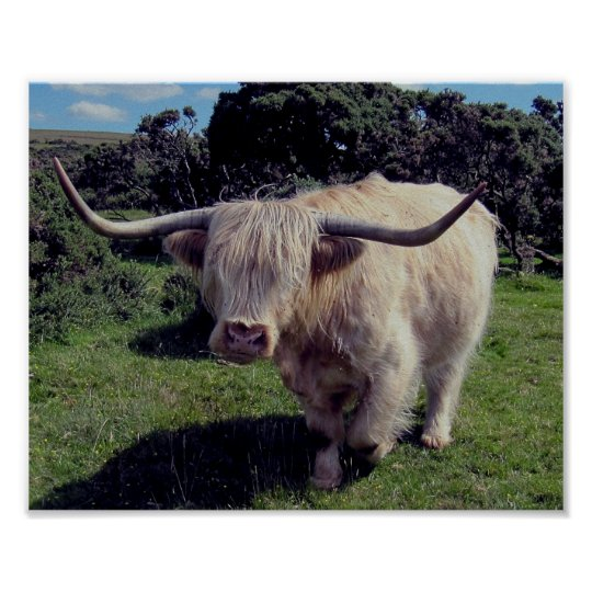 Highland cow on the move on dartmoor poster