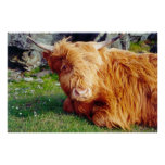Highland Cow Photo Poster