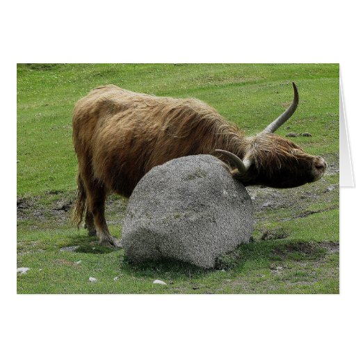 Highland cow scratching on rock on dartmoor greeting card