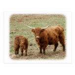 Highland Cow with calf 9Y316D-048 Post Card