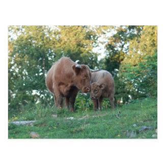 Highland cow with calf postcard
