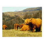 Highland Cows Postcard