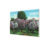 Highland Park Lilacs in Bloom Canvas Print