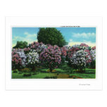 Highland Park Lilacs in Bloom Post Cards