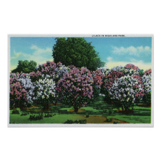 Highland Park Lilacs in Bloom Poster