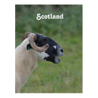 Highland Sheep Postcard
