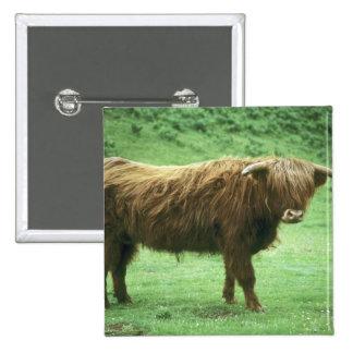 Highland Steer, Island of Mull, Inner Pins
