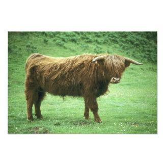 Highland Steer, Island of Mull, Inner Photo Print