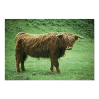 Highland Steer, Island of Mull, Inner Poster