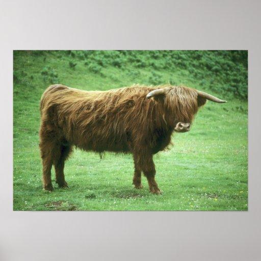 Highland Steer, Island of Mull, Inner Posters