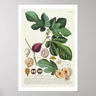 Higo, grabado por 1704-67) placas de Juan Jacobo H Poster