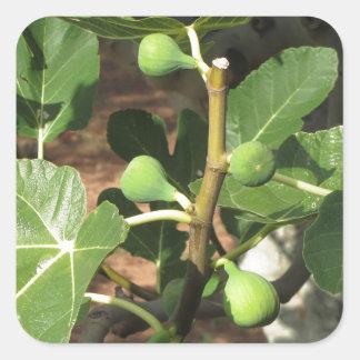 Higos verdes que maduran en una higuera pegatina cuadrada