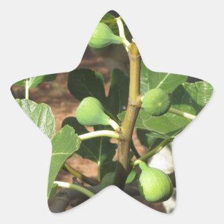 Higos verdes que maduran en una higuera pegatina en forma de estrella